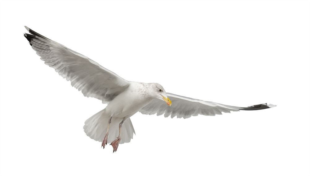 Everything you need to know about the seagull