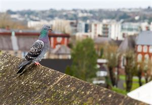 Pigeon on roof ridge