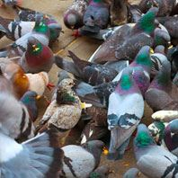Pigeon Control & Bird Control Products Information & Advice