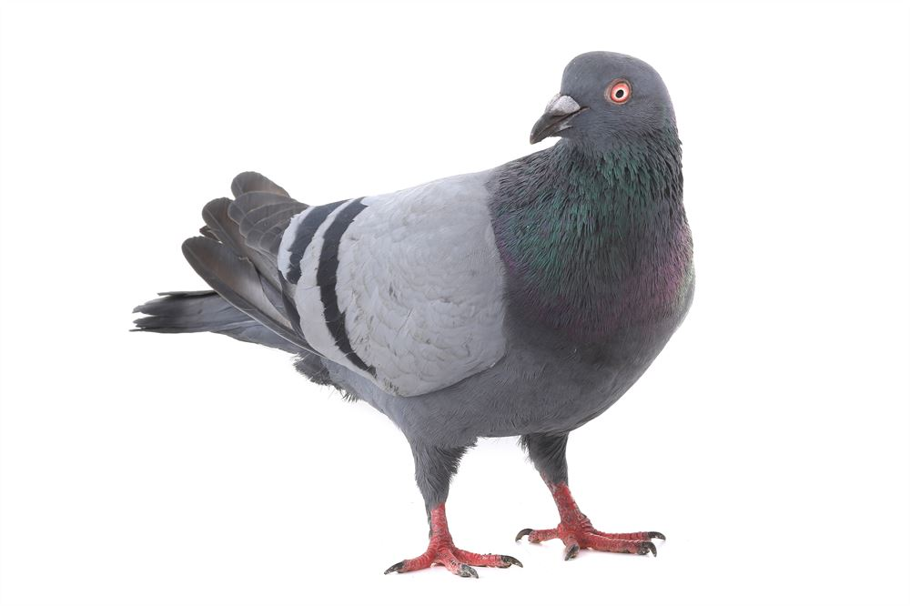 The feral pigeon everything you need to know
